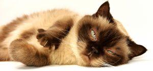 dieta pisica diebetica